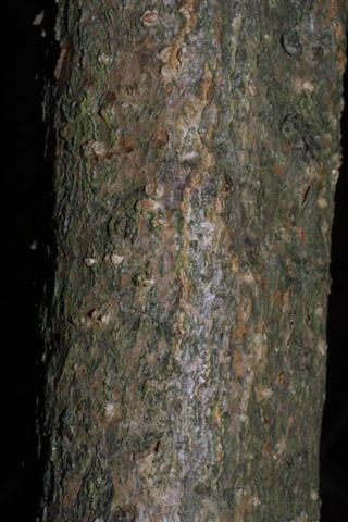 Image http://bioimages.vanderbilt.edu/lq/baskauf/wviopa2br30786.jpg