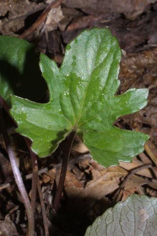 Image http://bioimages.vanderbilt.edu/lq/baskauf/wvipa3-lf32466.jpg