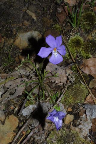 Image http://bioimages.vanderbilt.edu/lq/baskauf/wvipe--wp39423.jpg