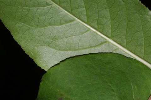 Image http://bioimages.vanderbilt.edu/lq/baskauf/wvipr--lfmargin-uplow35642.jpg