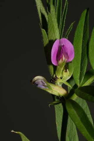 Image http://bioimages.vanderbilt.edu/lq/baskauf/wvisan2flfront52083.jpg