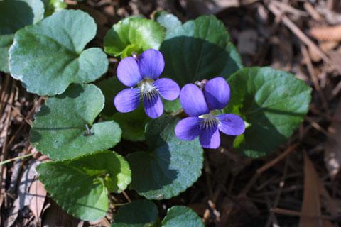 Image http://bioimages.vanderbilt.edu/lq/baskauf/wviso--wpin-flower10552.jpg