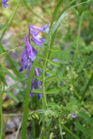 Image http://bioimages.vanderbilt.edu/lq/baskauf/wviviv8lf20678.jpg