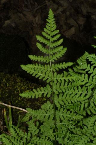 Image http://bioimages.vanderbilt.edu/lq/baskauf/wwoob2-lf34454.jpg
