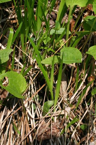 Image http://bioimages.vanderbilt.edu/lq/baskauf/wxyte--lfjuvenile57914.jpg