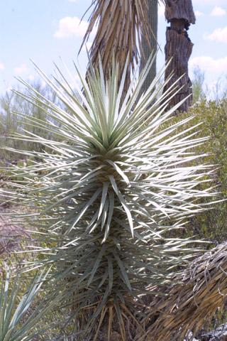 Image http://bioimages.vanderbilt.edu/lq/baskauf/wyubr--tw14943.jpg