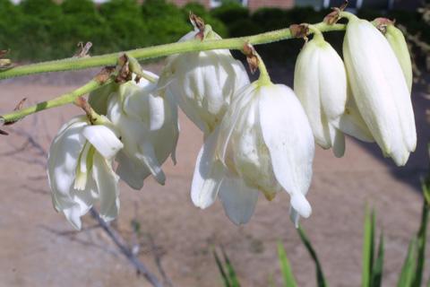 Image http://bioimages.vanderbilt.edu/lq/baskauf/wyufl2-fl11727.jpg