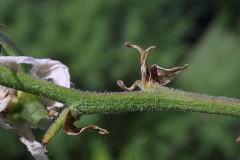 Image http://bioimages.vanderbilt.edu/lq/baskauf/wyufl2-tw27143.jpg