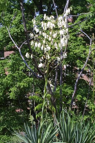 Image http://bioimages.vanderbilt.edu/lq/baskauf/wyufl2-wpin-flower11726.jpg