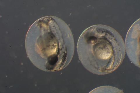 Image http://bioimages.vanderbilt.edu/lq/baskauf/wzfish-3day30568.jpg