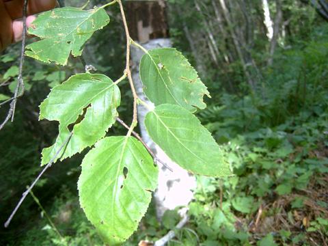 Image http://bioimages.vanderbilt.edu/lq/bassettst/wbepa--lf183sb563.jpg