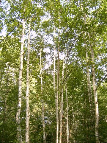 Image http://bioimages.vanderbilt.edu/lq/bassettst/wbepa--wp180sb561.jpg