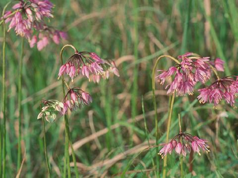 Image http://bioimages.vanderbilt.edu/lq/hessd/walce2-flinflor940808a-17e5397.jpg