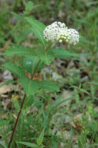 Image http://bioimages.vanderbilt.edu/lq/hessd/wasva--wp135e5021.jpg
