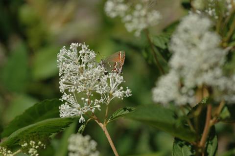 Image http://bioimages.vanderbilt.edu/lq/hessd/wceam--flwith-butterfly075e5025.jpg