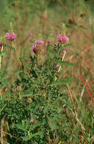 Image http://bioimages.vanderbilt.edu/lq/hessd/wdafo2-wpin-flower-010818-09e5249.jpg