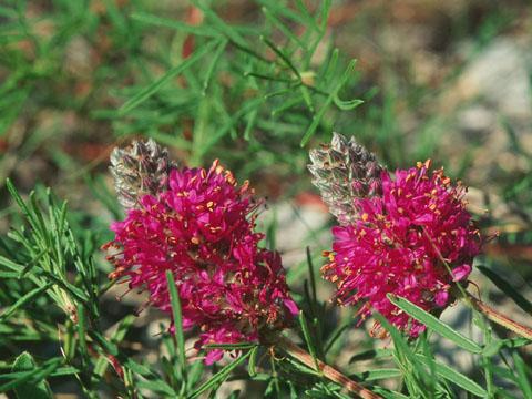 Image http://bioimages.vanderbilt.edu/lq/hessd/wdaga--flinflor940514a-07e5410.jpg