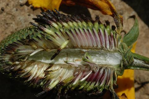 Image http://bioimages.vanderbilt.edu/lq/hessd/wdram--fldissected0235e5255.jpg