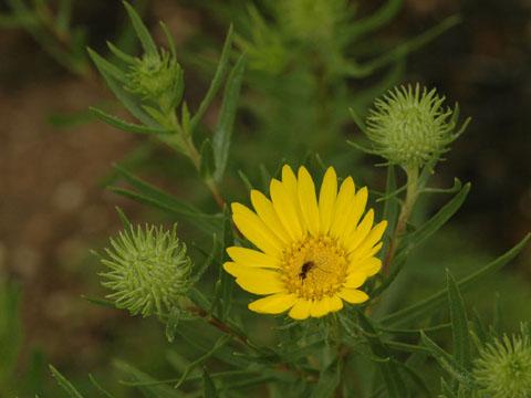 Image http://bioimages.vanderbilt.edu/lq/hessd/wgrla3-flinflor0245e5428.jpg