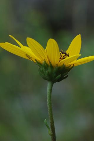 Image http://bioimages.vanderbilt.edu/lq/hessd/wheoc2-flside0379e5284.jpg