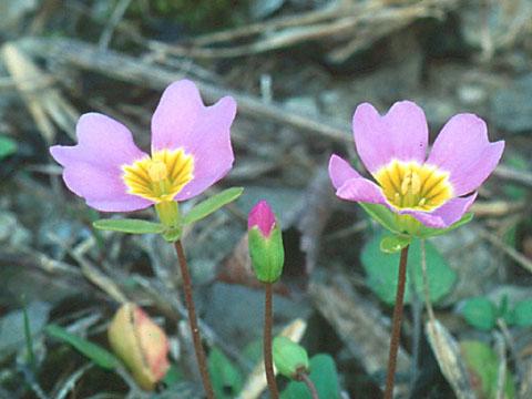 Image http://bioimages.vanderbilt.edu/lq/hessd/wlest7-flpurple96031-01-2e5434.jpg