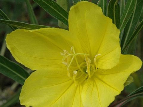 Image http://bioimages.vanderbilt.edu/lq/hessd/woemam-flfront-close0025e5452.jpg