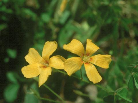 Image http://bioimages.vanderbilt.edu/lq/hessd/woxpr--fl940520-20-02e5459.jpg