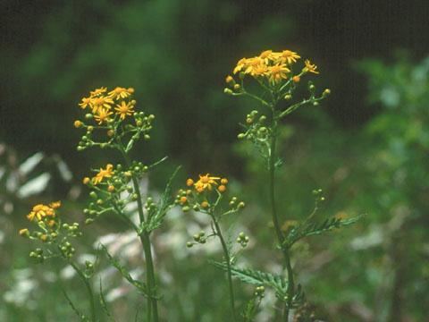 Image http://bioimages.vanderbilt.edu/lq/hessd/wpaan6-flinflor940424a-10e5462.jpg