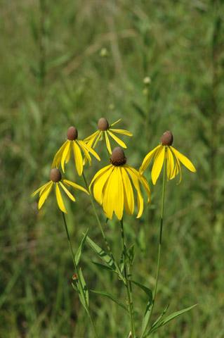Image http://bioimages.vanderbilt.edu/gq/hessd/grapi--fl0328-1p5fte5351.jpg