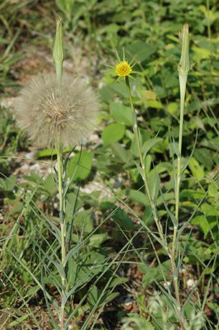 Image http://bioimages.vanderbilt.edu/lq/hessd/wtrdu--frwith-flower113e5054.jpg