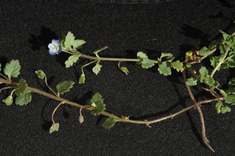 Image http://bioimages.vanderbilt.edu/lq/hessd/wvepo--st0006e5390.jpg