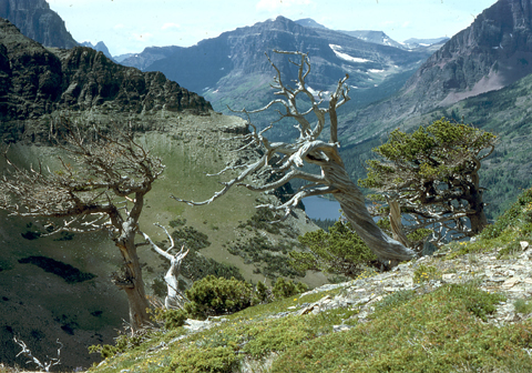 white bark pine at treeline, Two Medicine Lake, Glacier Ntl. Park, MT