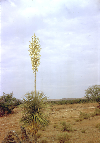 Image http://bioimages.vanderbilt.edu/lq/kaufmannm/wyuel--wpin-flower-mke020.jpg