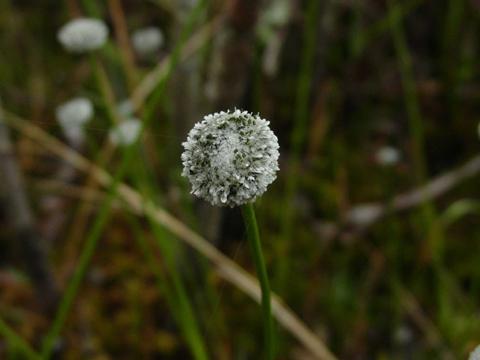 Image http://bioimages.vanderbilt.edu/lq/kellyl/wlachn-fllk452.jpg