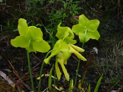 Image http://bioimages.vanderbilt.edu/lq/kellyl/wsafl4-flseverallk455.jpg