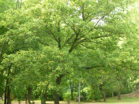 Image http://bioimages.vanderbilt.edu/lq/kirchoff/wBKK-BioI-P1010335.jpg