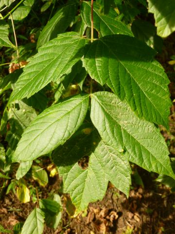 Image http://bioimages.vanderbilt.edu/lq/kirchoff/wBKK-BioI-P1010344.jpg