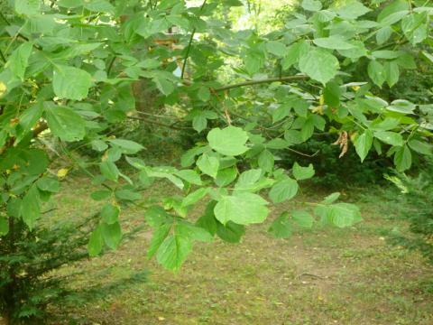 Image http://bioimages.vanderbilt.edu/lq/kirchoff/wBKK-BioI-P1010355.jpg