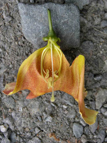 Image http://bioimages.vanderbilt.edu/lq/kirchoff/wbica--fldissectedb5074.jpg