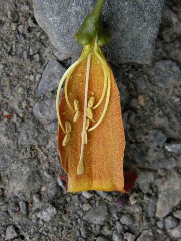 Image http://bioimages.vanderbilt.edu/lq/kirchoff/wbica--fldissectedb5075.jpg