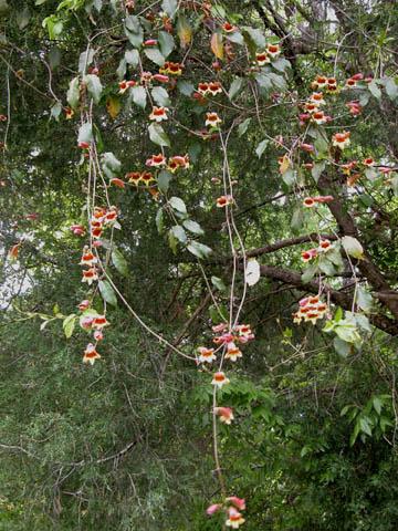 Image http://bioimages.vanderbilt.edu/lq/kirchoff/wbica--wpb5073.jpg