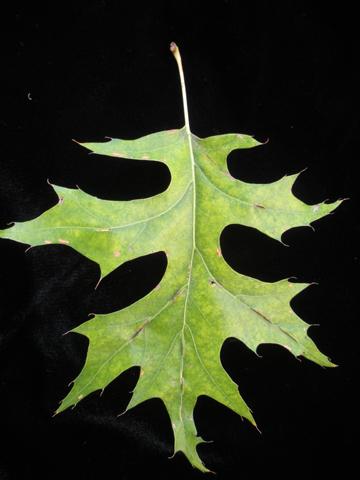 Image http://bioimages.vanderbilt.edu/lq/kirchoff/wem2039.jpg