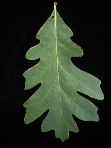 Image http://bioimages.vanderbilt.edu/lq/kirchoff/wem2099.jpg