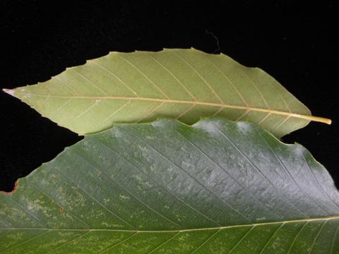 Image http://bioimages.vanderbilt.edu/lq/kirchoff/wem2198.jpg