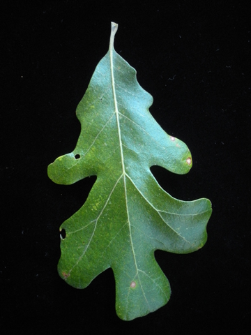 Image http://bioimages.vanderbilt.edu/lq/kirchoff/wem2261.jpg