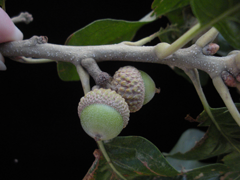 Image http://bioimages.vanderbilt.edu/lq/kirchoff/wem2279.jpg