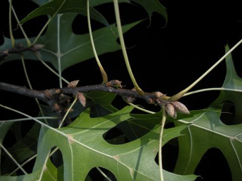 Image http://bioimages.vanderbilt.edu/lq/kirchoff/wem2319.jpg