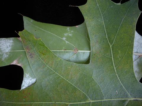 Image http://bioimages.vanderbilt.edu/lq/kirchoff/wem2356.jpg