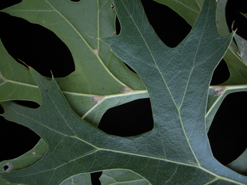 Image http://bioimages.vanderbilt.edu/lq/kirchoff/wem2552.jpg
