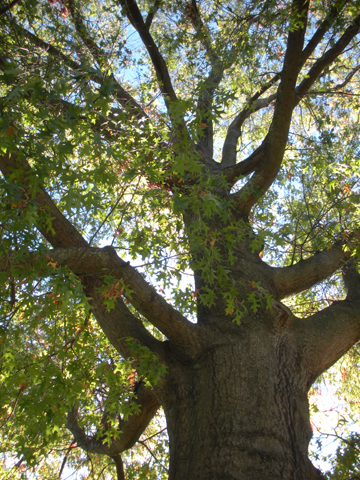 Image http://bioimages.vanderbilt.edu/lq/kirchoff/wem2562.jpg